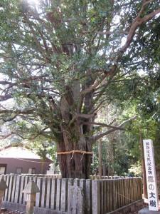2日目 熊野速玉大社 梛の大樹